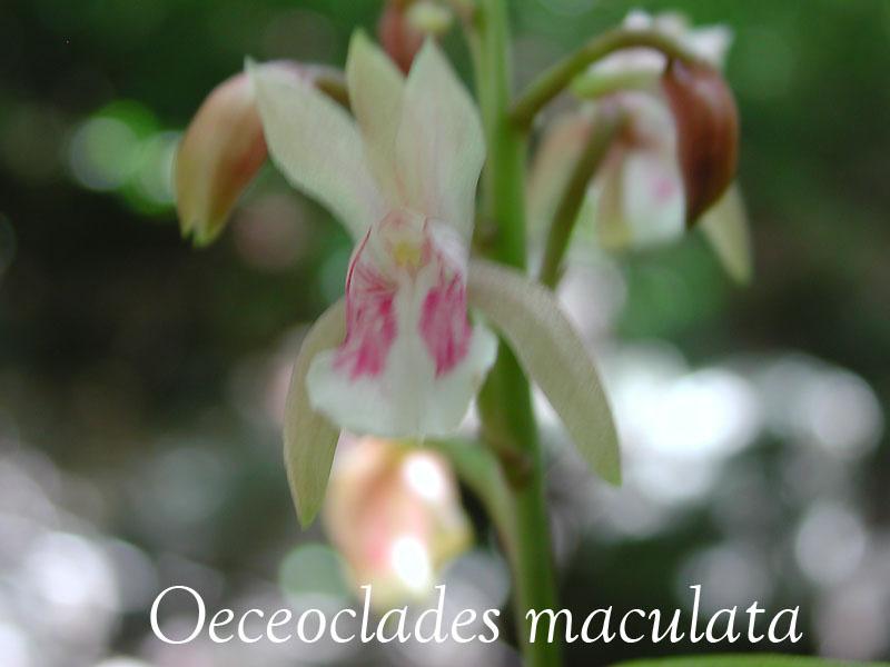 Oeceoclades maculata : nouvelle venue en Martinique Oeceo_11