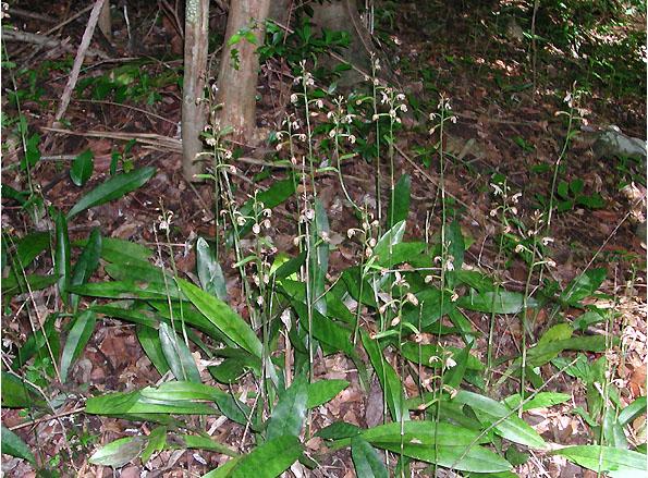 Oeceoclades maculata : nouvelle venue en Martinique Oeceo_12