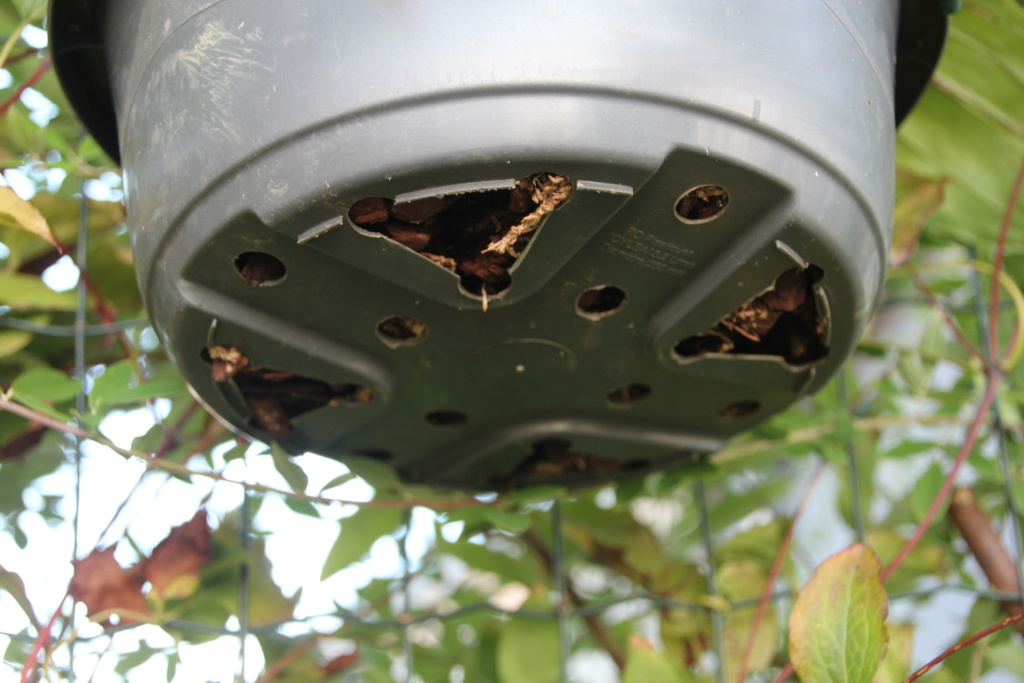 Stanhopea jennischiana Img_0111