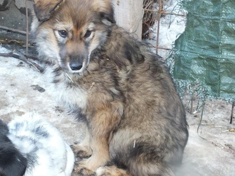URSA, chiot femelle de taille moyenne à grande, 4 mois environ (Olténita) 10406710