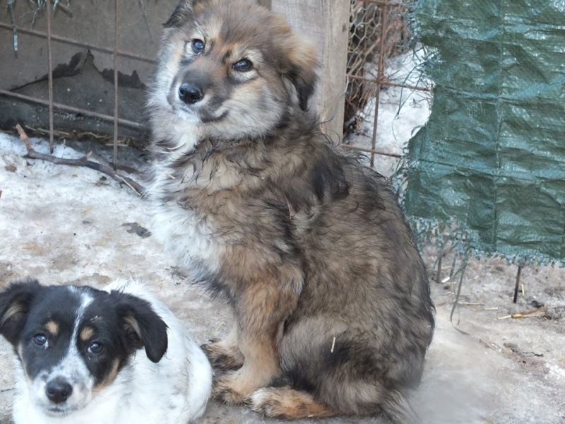 URSA, chiot femelle de taille moyenne à grande, 4 mois environ (Olténita) 10675710