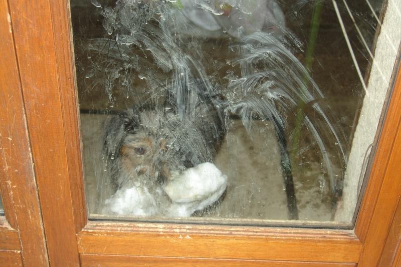 PASTEL, chiot femelle x berger australien née env avril 2014 (Pascani) - adoptée par Marybee (dpt 84) - Page 3 Neige_11