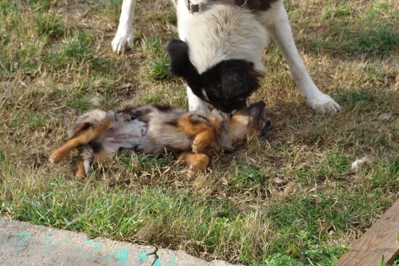 PASTEL, chiot femelle x berger australien née env avril 2014 (Pascani) - adoptée par Marybee (dpt 84) - Page 3 Pastel11