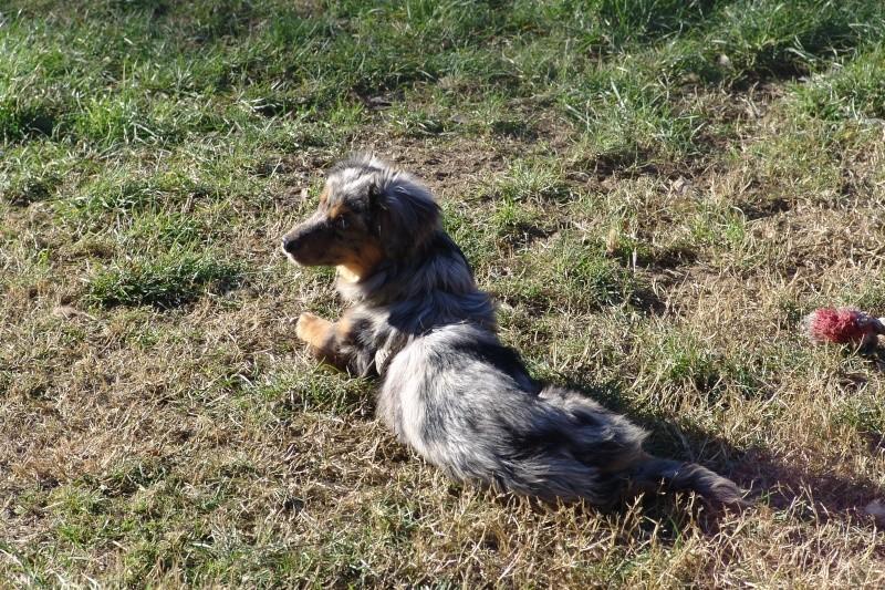 PASTEL, chiot femelle x berger australien née env avril 2014 (Pascani) - adoptée par Marybee (dpt 84) - Page 3 Pastel14