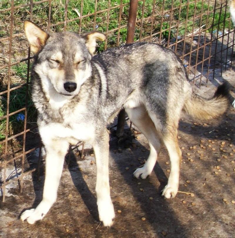 Migou, croisé Husky taille moyenne 2/3 ans. Roumanie  Vssr10