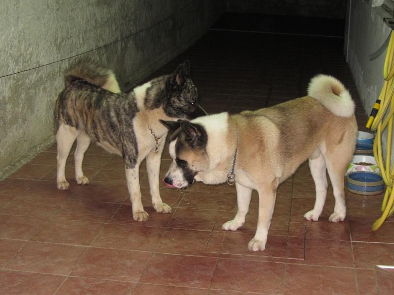 21e portée de Ludsyga : Cybelle x Kiyoshi (22/11/12) - pour moi 2012-834