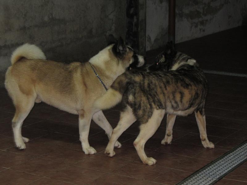 21e portée de Ludsyga : Cybelle x Kiyoshi (22/11/12) - pour moi 2012-839