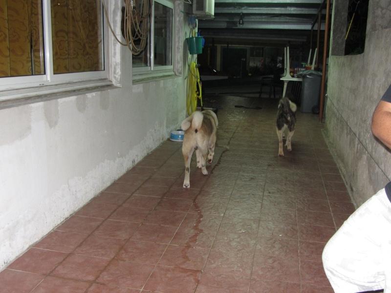 21e portée de Ludsyga : Cybelle x Kiyoshi (22/11/12) - pour moi 2012-841