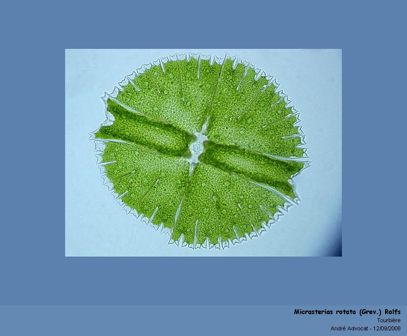 Micrasterias rotata (Grev.) Ralfs  (algue microscopique) Micras10