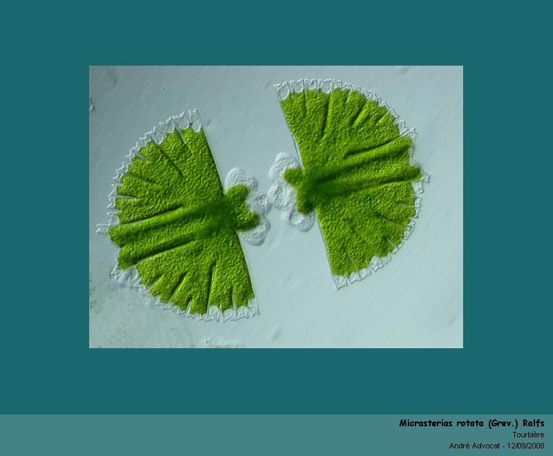 Micrasterias rotata (Grev.) Ralfs  (algue microscopique) Micras11