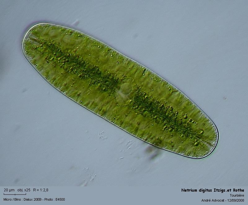 Netrium digitus Itzigs.et Rothe (Algue microscopique) Netriu10
