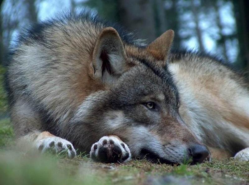 Imagenes de lobos 0_589f10