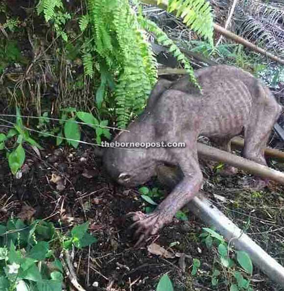 Une créature très étrange.. Borneo10