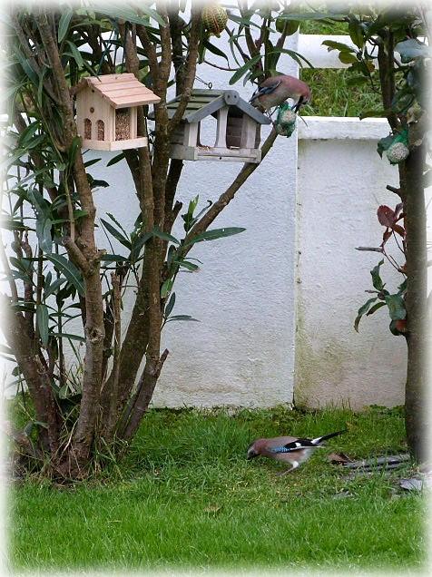 """un habitué de """" la mangeoire """" : Geai des chênes. P1230510"""