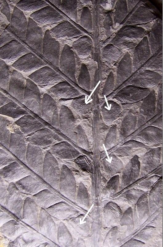 Odontopteris Brongniart , 1825 . 100_3010