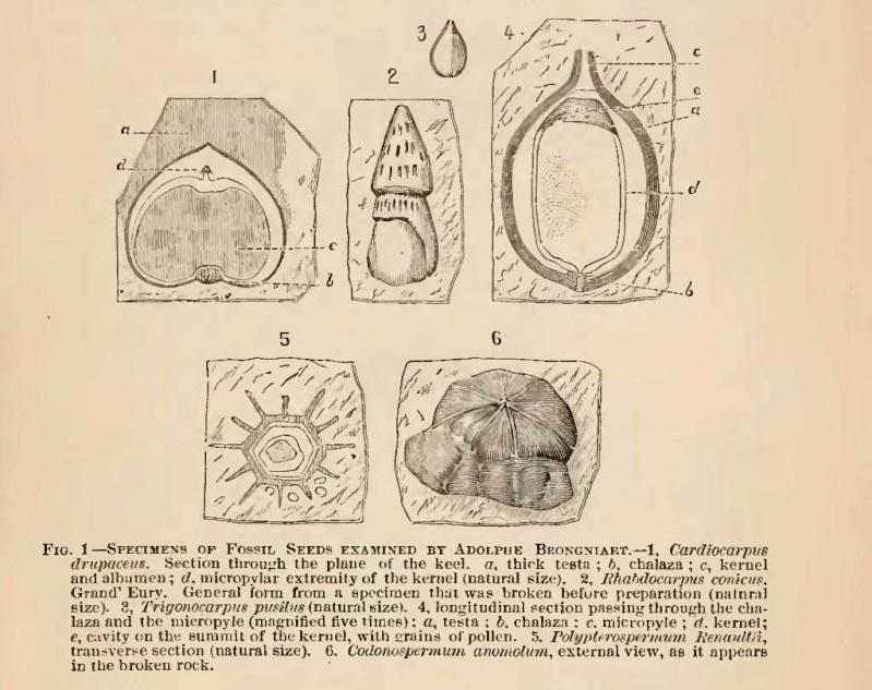 Trigonocarpus  Pachytesta  Hexagonocarpus  Popula10