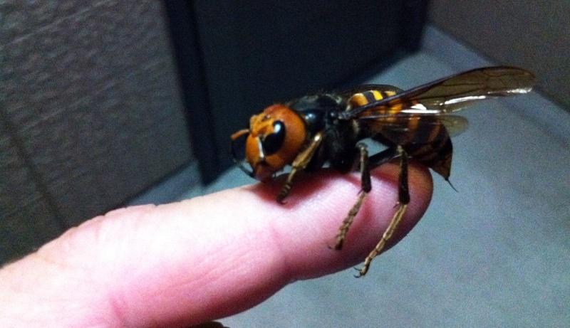 Sauvez les abeilles, piégez les Frelons Asiatiques  Vespa-10