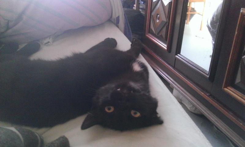 Un caractère en or : Jedi chaton né vers le 10 juillet 2014 -Adopté par babacool62- Wp_20113