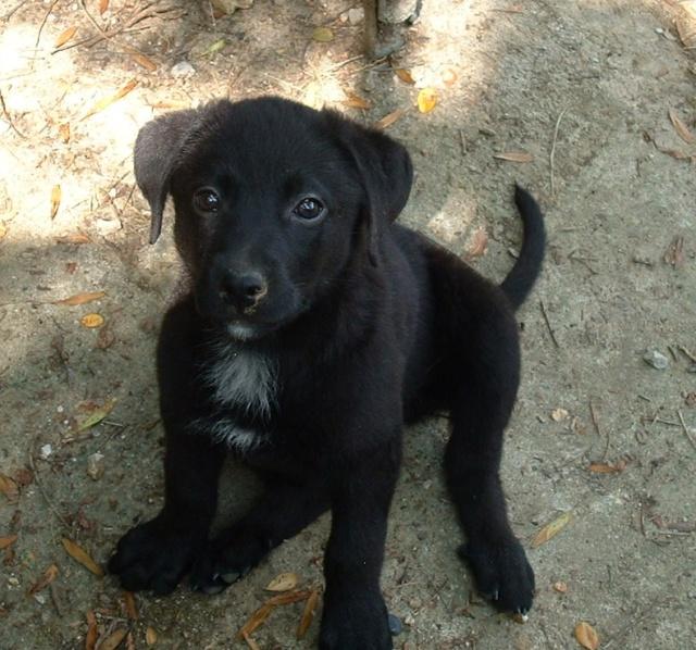 Inka, femelle type labrador Dscf0019