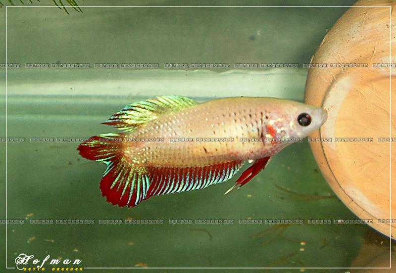 Mâle HM Salamander X femelle DT cambodge rouge  Cimg2510
