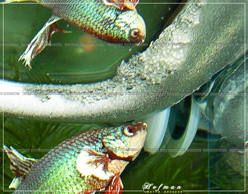 Mâle HM Salamander X femelle DT cambodge rouge  Cimg2612