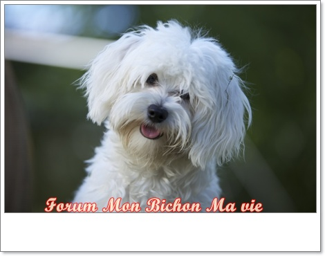 Album photos des bichons Bichet10