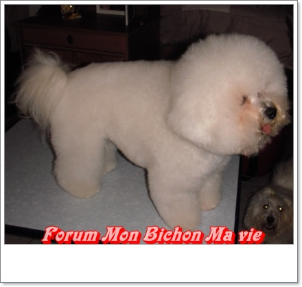 Album photos des bichons Elvis_10