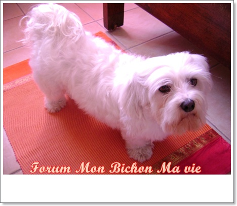 Album photos des bichons Indie10