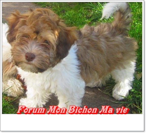 Album photos des bichons Oshun_10