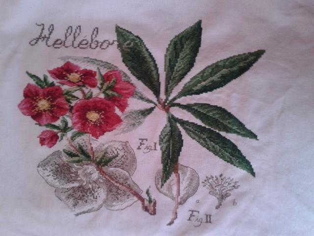 Hellebore, etude botanique 20150211