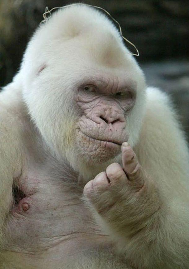Curiosités Gorill10