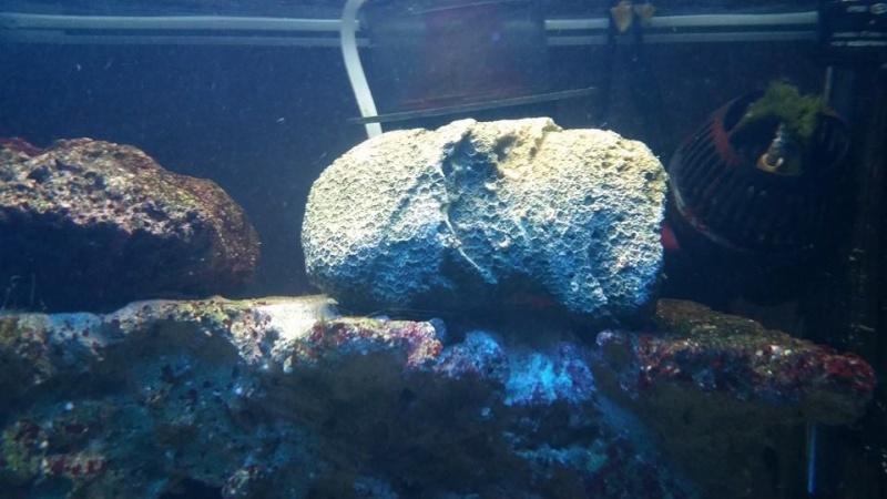 (RESOLU) une algue comment l'éliminer suite à présence coraux? 10308110