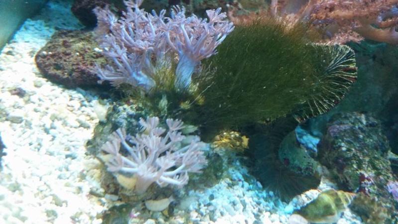 (RESOLU) une algue comment l'éliminer suite à présence coraux? 10351810