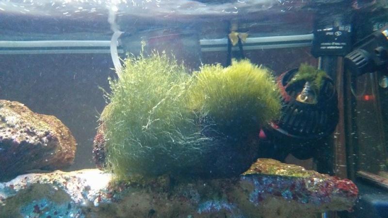 (RESOLU) une algue comment l'éliminer suite à présence coraux? 10947310