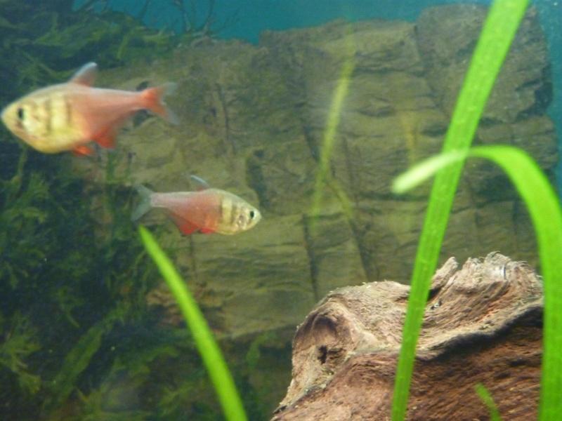 Aquarium 200 litres amazonien P1020511