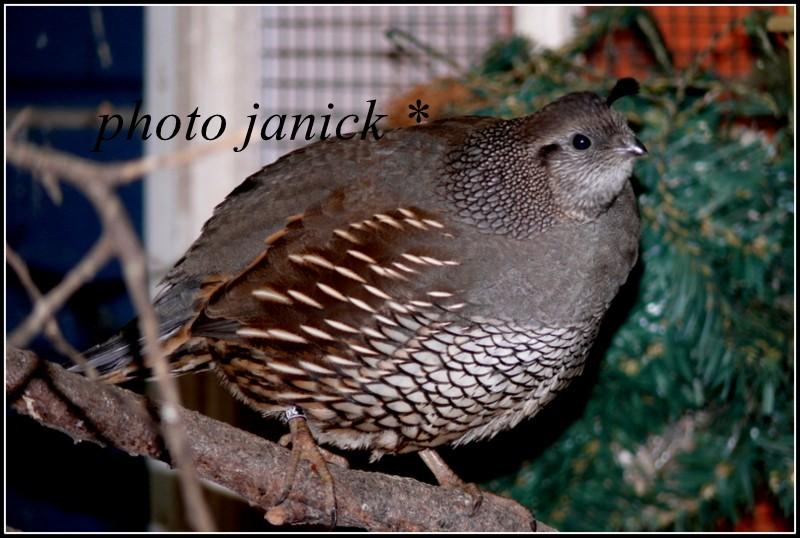 les oiseaux de Janick P1230012