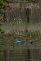 Martin-pêcheurs 2014_110