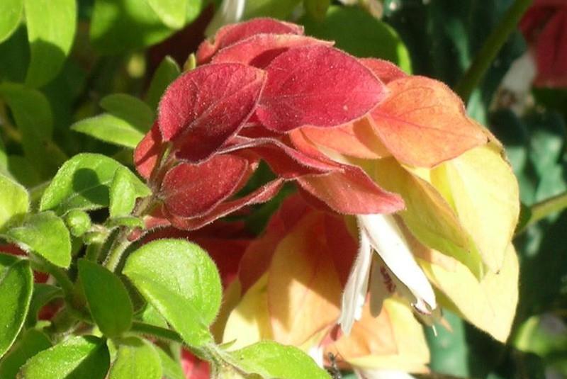 une plante  fleur -ajonc-1er février trouvée par Martin - Page 2 Justic10