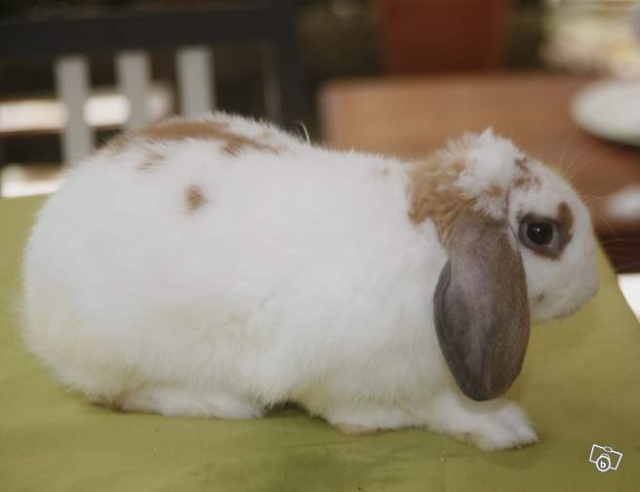 Trouvé lapin bélier blanc oreilles noires Colomiers Lapin10