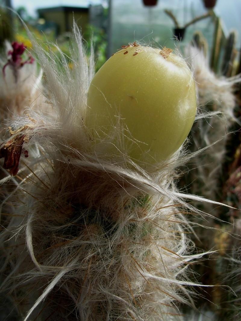 Oreocereus doelzianus ssp. sericata Morawe12