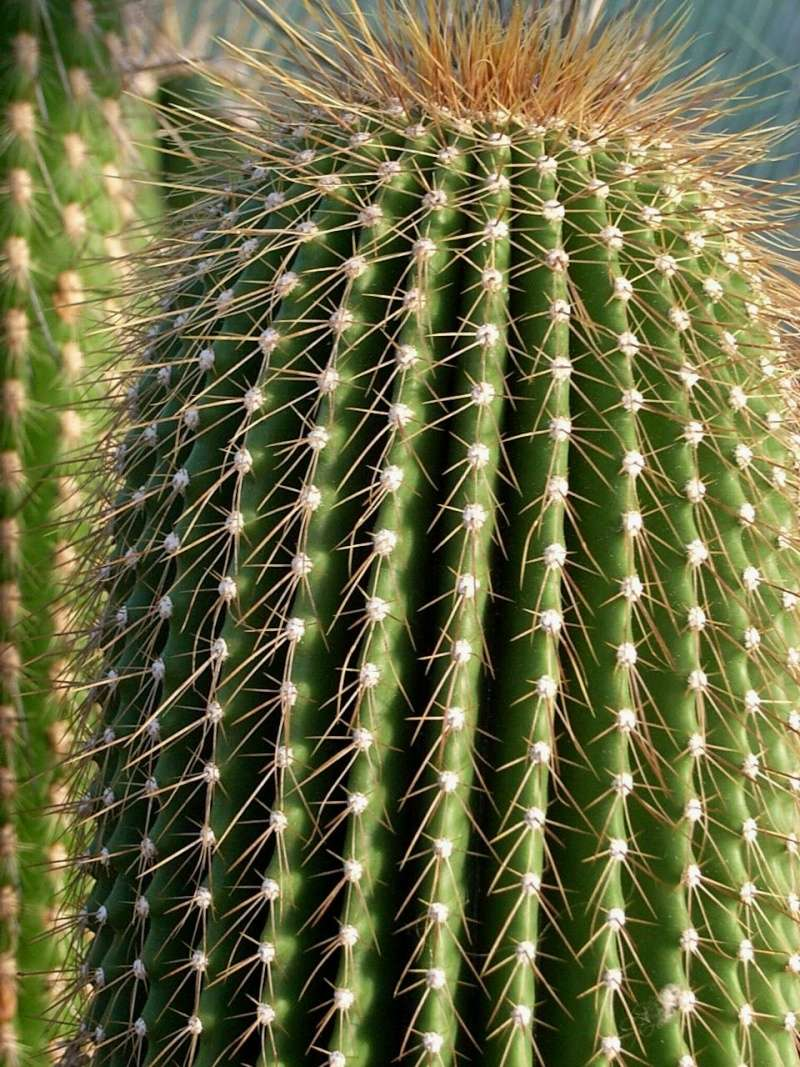 Neobuxbaumia polylopha Neobuy10