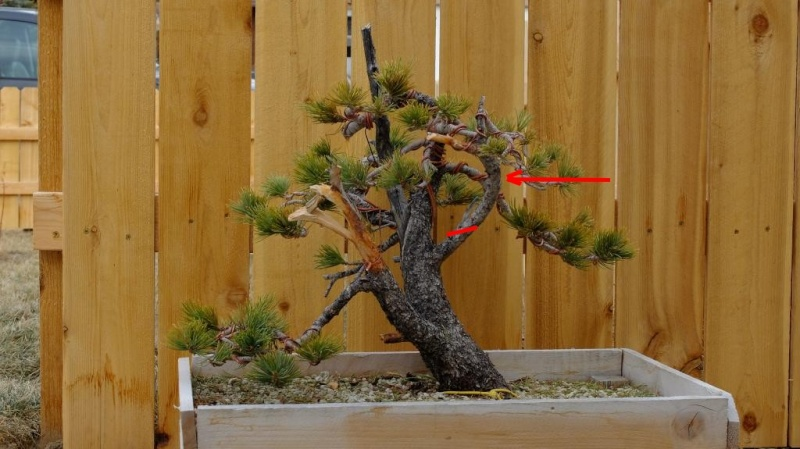 Pinus Flexilis - First styling Jun10