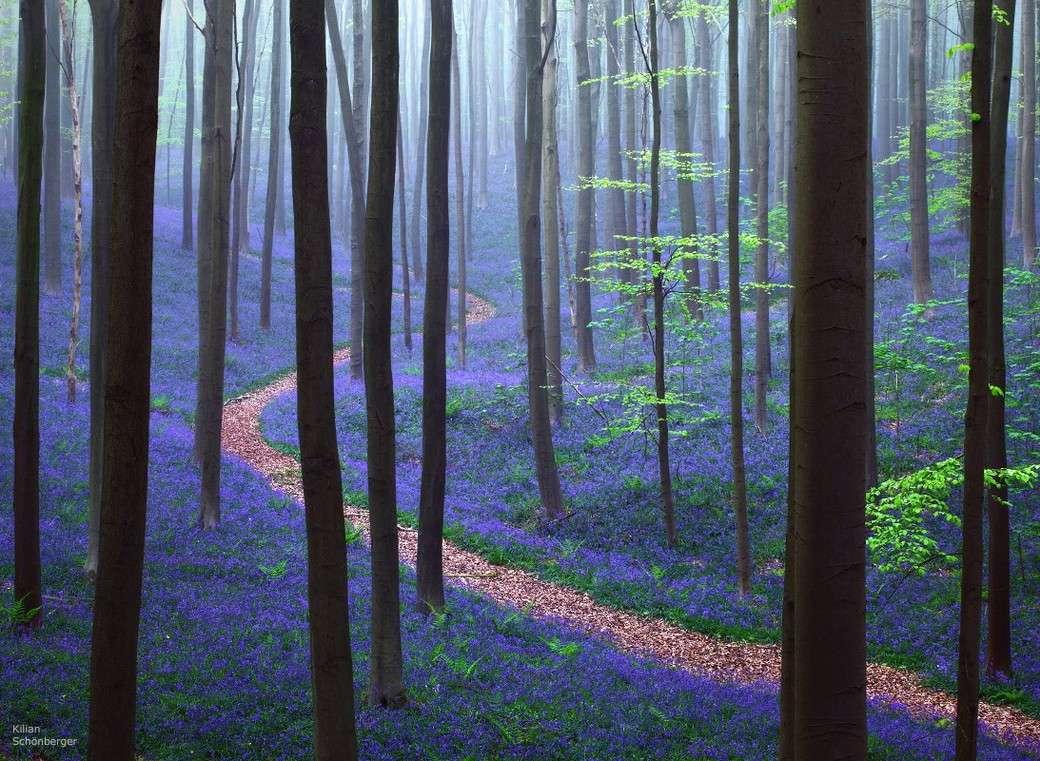 Forêt bleue - Bois de Hal - Hal - Belgique 2015-153
