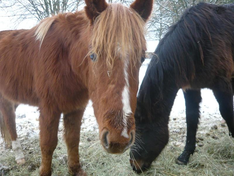 GUUS, est un poney welsh né en mai 2009 (ADOPTE) Guus10