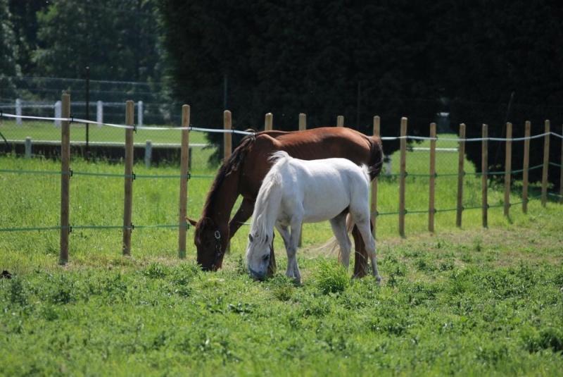 Fablya, ponette welsh, avec pied bot, 3 ans (ADOPTEE) News_013