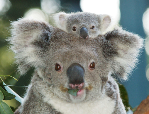 koala pic that made me laugh xD Koala_10