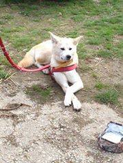 Sweetie Akita Inu rousse 4 ans (f) ASSO44 ADOPTEE 10394110