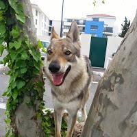 Perdu chienne loup Tchéchoslovaque à JOUQUES 10429410