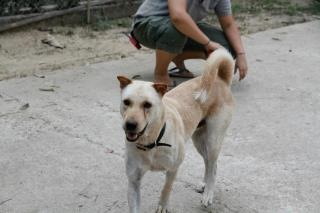 Curtis Akita x labrador sauvé de thaïlande (m) ok femelles chats 7 ans PART64 Img_9510