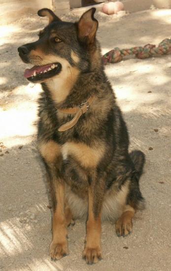 TWEETY berger X husky, née en juin 2001, sportive et joueu  (f ) REFU83 Tete-t10